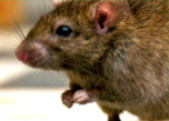 Rodent control treatment in Bahrain
